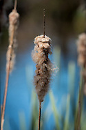 In spring, a cattail's previous season's seeds are released and are carried away on the breeze.