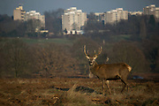 A young red deer stag in Richmond Park enjoy the winter sun January 22nd 2017 in London. Hundreds of wild red and fallow deer roam freely in the park and can easily be found when walking in the park. In the back ground is a cluster of housing estates in Rhoehampton, London.
