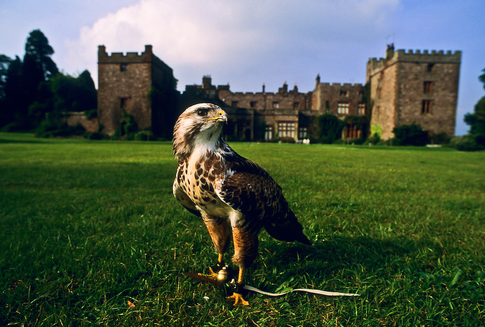 A hawk in front of a castle in Northern England.