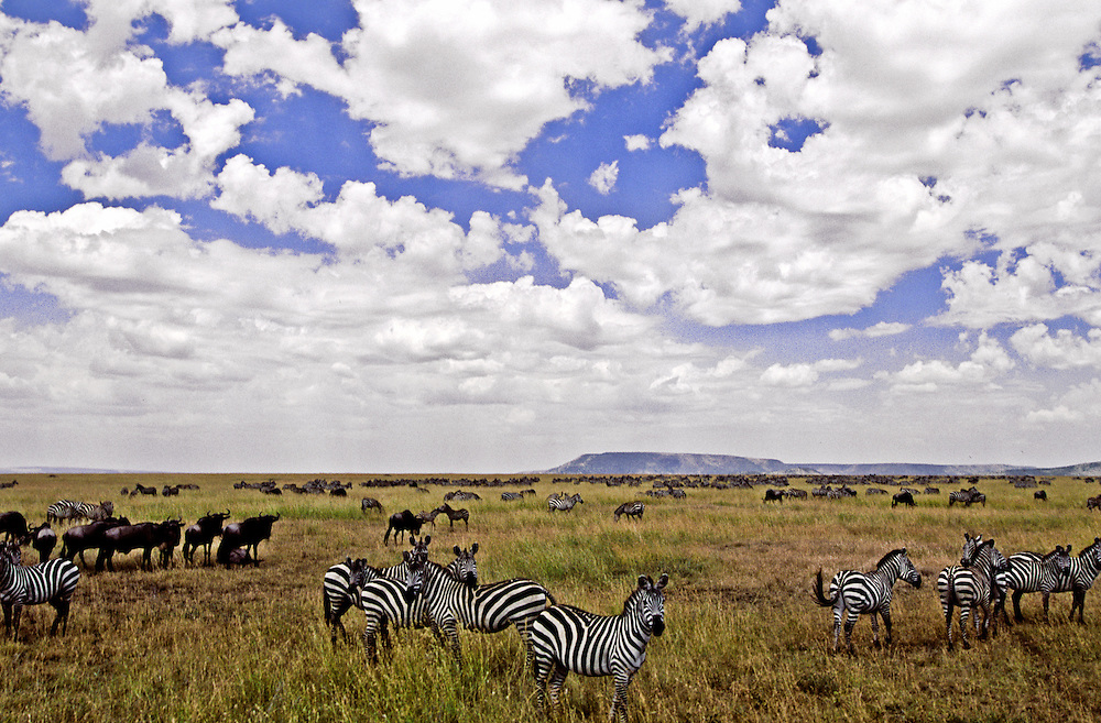 A herd of zebras and wildebeest on the grassland under a bright blue sky.