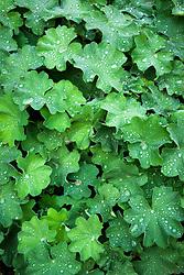 Raindrops on Alchemilla mollis
