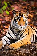 A wild Indian Bengal tiger (Panthera tigris tigris) lying down on a rock,Bandhavgarh,Madhya Pradesh,India