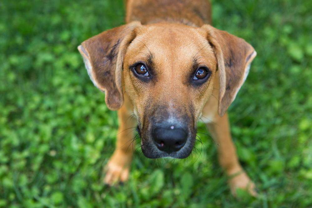 Outdoor portrait of a hound dog mix rescue.