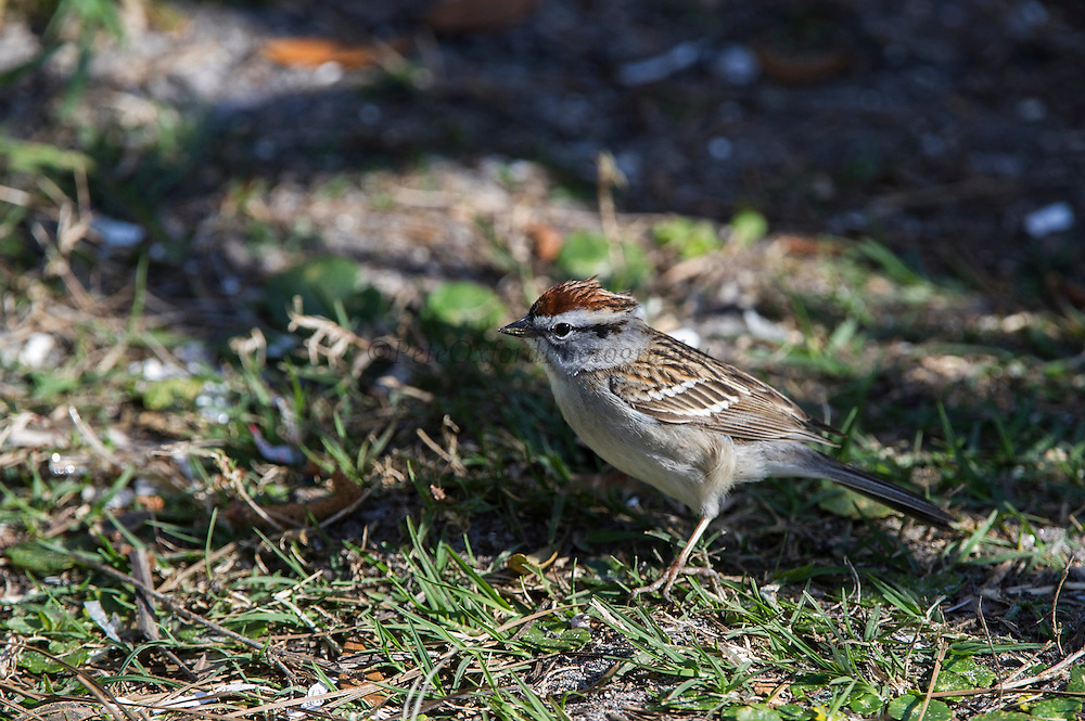 Chirping Sparrow (Spizella passerina)<br /> Little St Simon's Island, Barrier Islands, Georgia<br /> USA<br /> HABITAT & RANGE: Semi-open areas or woodland. Canada to Nicaragua