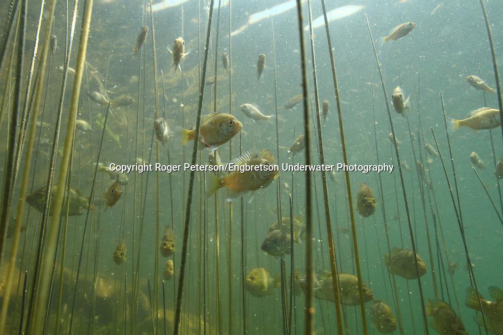 Underwater Scene (with juvenile Bluegills)<br /> <br /> Roger Peterson/Engbretson Underwater Photography