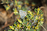 An acmon blue butterfly pauses for a moment on an antelope-brush on a chilly late spring morning in Central Washington, just south of Naches.