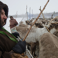 North of the Arctic Circle in Russia, 72-year old nomadic reindeer herder Marie Vaucheskaya, of the Komi clan, holds up a temporary pen.