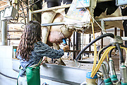 Teen girl milks a cow on a dairy farm