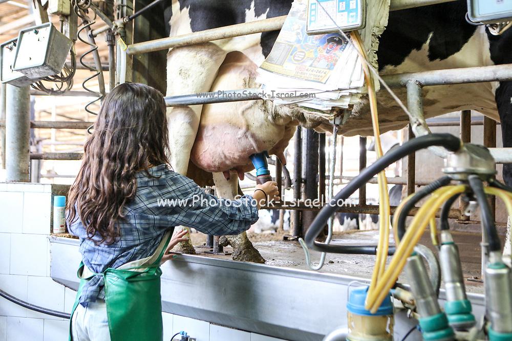 Teen girl milks a cow on a dairy farm