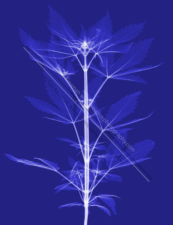 An X-Ray of a Cannabis Plant (Cannabis sativa). The plant produces tetrahydrocannabinol (THC), the active component of cannabis when used as a drug.