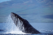 humpback whale, Megaptera novaeangliae, male lunging in competition with other males (note raw nodules on head from contact with other whales), Maui, Hawaii, USA ( Pacific Ocean ) NMFS permit #633