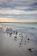 Royal terns and Laughing Gulls shoreline and beach at Anna Maria Island, Florida, USA