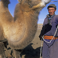 MONGOLIA, Darhad Valley. Nomadic herder with Bactrian camel.