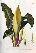 Coloured Copperplate engraving of a flowerin Arum plant from hortus nitidissimus by Christoph Jakob Trew (Nuremberg 1750-1792)