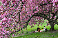 A picnic under the cherry blossoms west of the Reservoir in Central Park