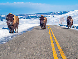 North America, United States, Wyoming, Yellowstone National Park,  Lamar Valley, three bison on road