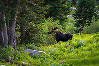 A bull moose stops for some food in Utah's Wasatch Mountains.