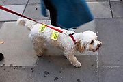 A dog covered with stickers reading Bollocks to Brexit during the People's Vote March protests on october 19th