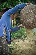 An old vietnamese woman overturns a wicker basket full of rice seeds. Khanh Hoa province, Vietnam, Asia