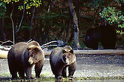 Grizzlies on watch
