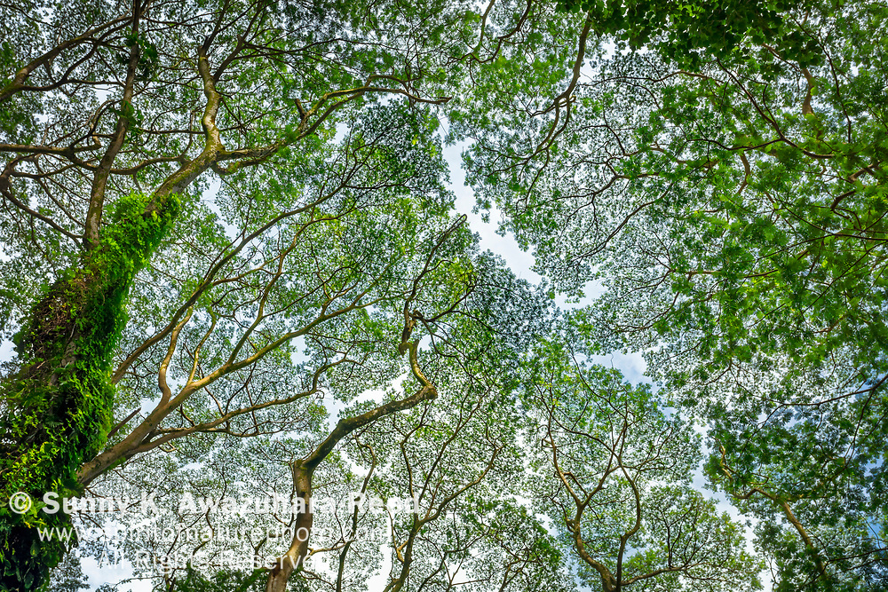A canopy of Albizia trees in Manoa Valley, Honolulu, Oahu Island, Hawaii.