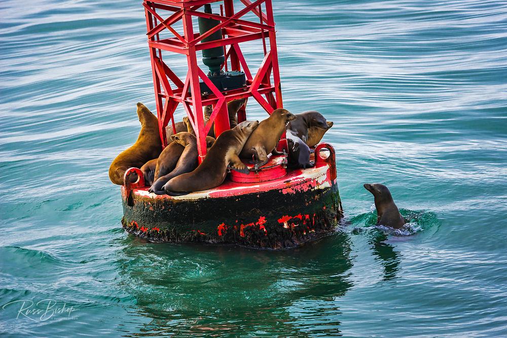 California sea lions (Zalophus californianus) on a navigation buoy, Ventura, California USA