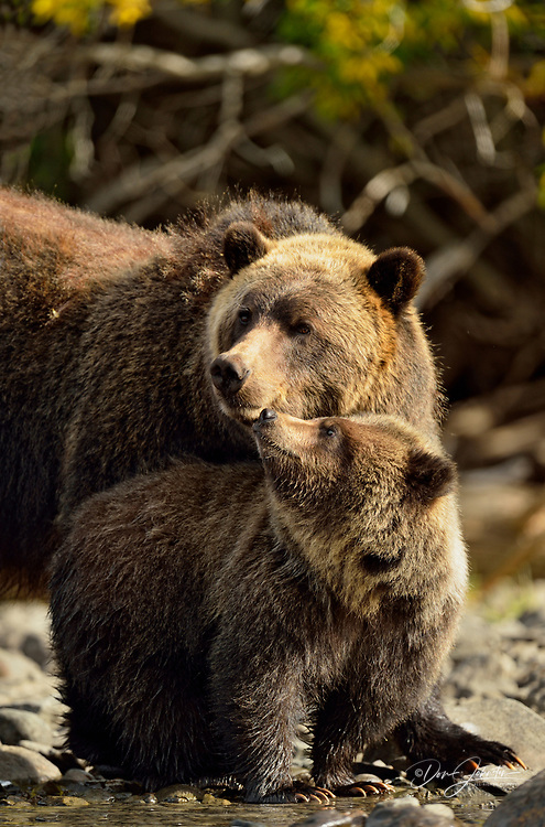 Grizzly bear (Ursus arctos)- Mother and cub interacting along the shore of a salmon river during the autumn spawning season, Chilcotin Wilderness, BC Interior, Canada
