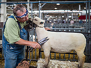 14 AUGUST 2019 - DES MOINES, IOWA: MARK HUSTON, from Nevada, Iowa, trims a babydoll southdown sheep before the sheep was shown at the Iowa State Fair. The Iowa State Fair is one of the largest state fairs in the U.S. More than one million people usually visit the fair during its ten day run. The 2019 fair run from August 8 to 18.                PHOTO BY JACK KURTZ