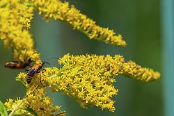 Goldenrod Soldier Beetle (Chauliognathus pensylvanicus) on wildflower.