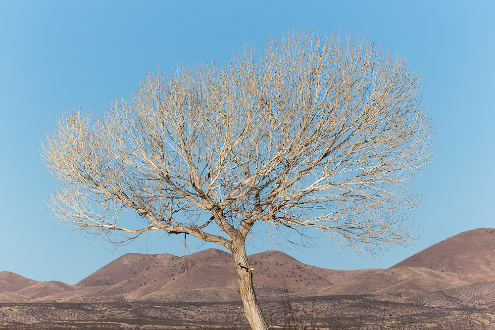 Tree in winter against mountains, Bosque del Apache, National Wildlife Refuge, New Mexico, USA.