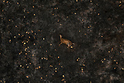 A dead deer lies in a pasture burned by wildfires in an area of the Pantanal devastated by a wildfires from which even the swiftest of animals could not escape.<br /> In 2020 the Pantanal faced the largest destruction by burning in its history. From January to October, fires burned 4.200.000 hectares of the Pantanal, which corresponds to 28% of the entire biome, killing a vast amount of the region's wildlife.