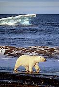Retreating sea ice forces a female polar bear to walk the beach along the Beaufort Sea (Arctic Ocean) at Point Barrow, Alaska.