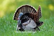 00845-07211 Eastern Wild Turkeys (Meleagris gallopavo) gobblers strutting in field, Holmes Co., MS