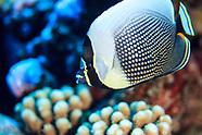 Chaetodon reticulatus (Reticulated Butterflyfish)