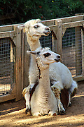two Alpaca Lama pacos looking in the same direction
