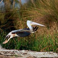 Africa, Botswana, Okavango Delta. Pink backed Pelican taking off in the Okavango Delta.