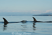 transient orcas or killer whales, Orcinus orca, surface between the San Juan Islands, Washington, United States and the Gulf Islands off the east coast of Vancouver Island, British Columbia ( BC ), Canada; the rising whale is pushing up a lens of saltwater with its bow wake
