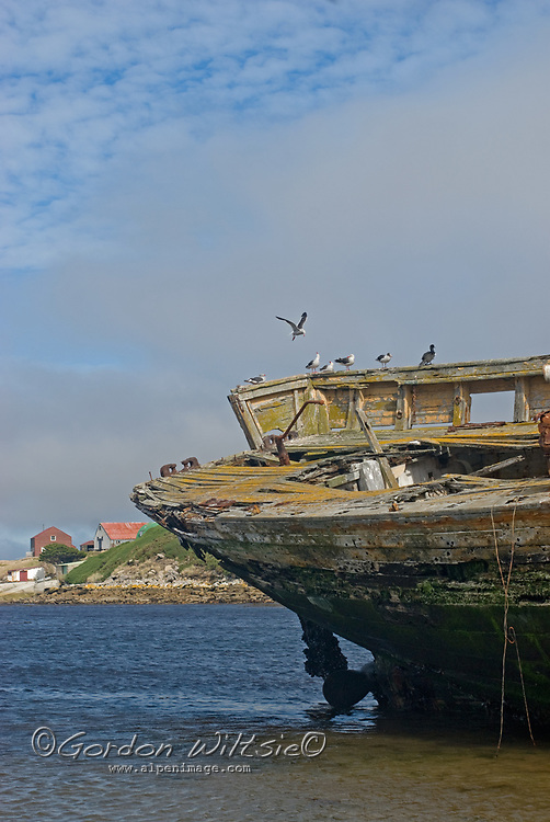 Kelp Gulls & Cormorants roost on a rotting ship beached near a settler's house on New Island in Britain's Falkland Islands.