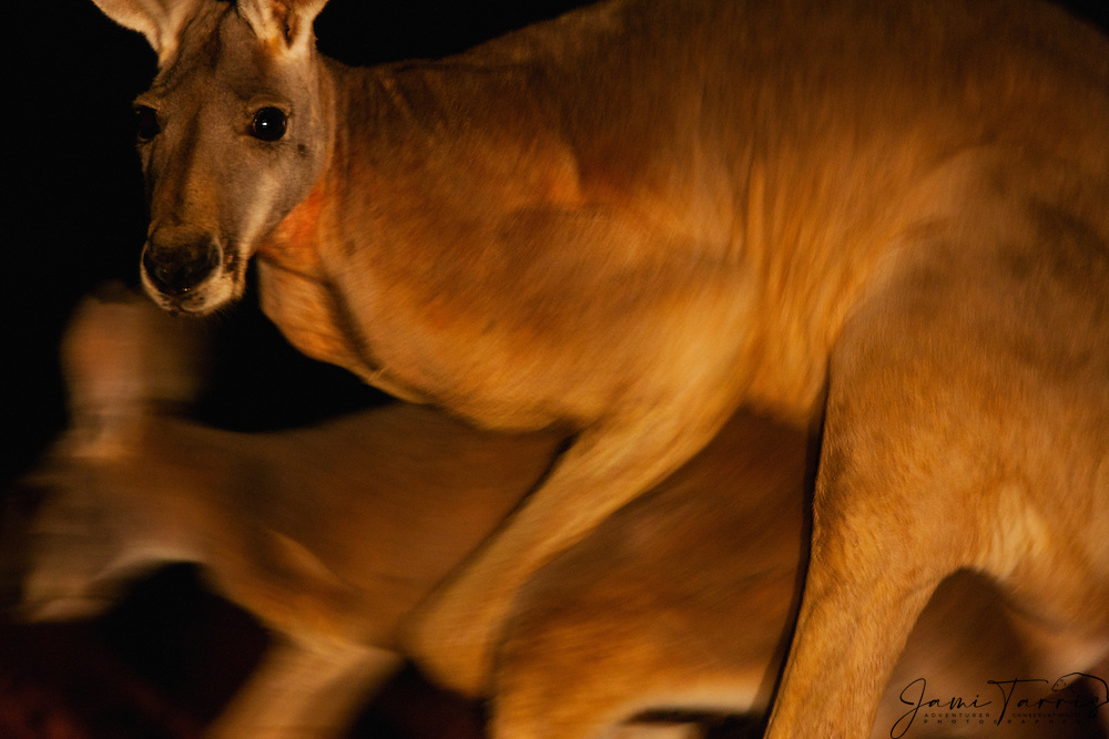 A low angle close-up of a male red kangaroo (Macropus rufus) mounting a female, night time,   Sturt Stony Desert,  Australia
