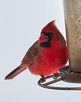 Northern Cardinal (Cardinalis cardinalis). Image taken with a Leica CL camera and 90-280 mm lens.