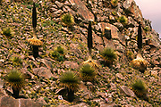 Puya - largest Bromeliad and Flower head<br /><br /><br />Puya Raimondii<br />Comanche National Park. SW of La Paz. BOLIVIA<br />South America<br />Flowers after 60-100 Years then dies
