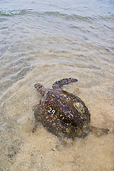 Green Sea Turtle, Chelonia mydas, released after it was examined extensively, and then, a microchip transmitter was inserted into one of its flippers, a sonic transmitter was epoxied, and a number was inscribed and painted on its carapace (turtle shell), U.S. Marine Turtle Research, organized by researcher George Balazs PhD, NOAA National Marine Fisheries Service (NMFS), Hawaii Preparatory Academy (HPA) students and teachers (NOAA/HPA Marine Turtle Program), and ReefTeach volunteers at Kaloko-Honokohau National Historical Park, Kona Coast, Big Island, Hawaii, Pacific Ocean.
