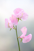 Lathyrus odoratus 'Nelly Viner' - sweet pea