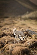 Patagonian grey fox in Torres del Paine National, Chile