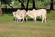 Brahman or Brahma a breed of Zebu cattle, Pasikudah Bay, Eastern Province, Sri Lanka, Asia