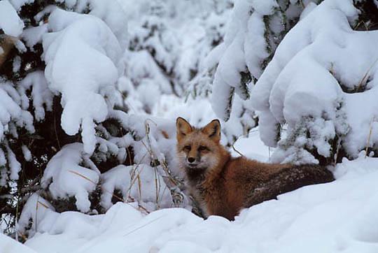Red Fox, (Vulpus fulva) Under Snowy brush. Winter. Captive Animal.