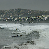 King Penguins brave the surf at a rookery by Saint Andrews Bay, South Georgia, Antarctica.