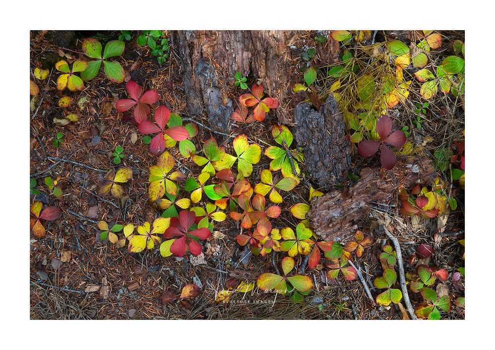 brightly coloured leaves of bunchberry plants at the base of a tree in autumn