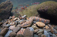 Northern Watersnake<br /> <br /> Isaac Szabo/Engbretson Underwater Photography