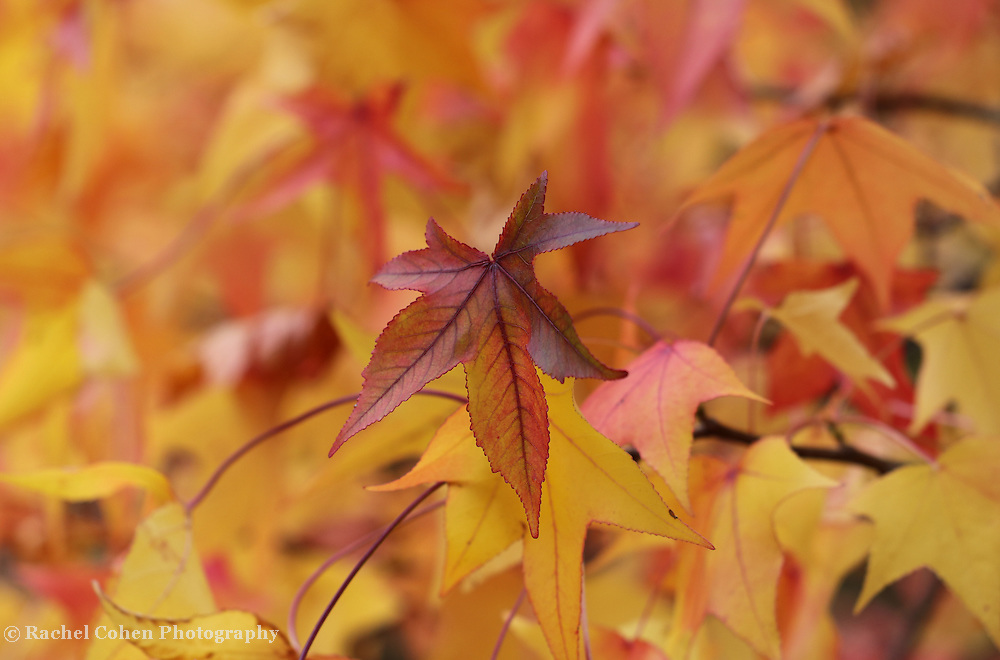"""""""Colors of Sweetgum"""" <br /> <br /> Enjoy the wonderful colors of the Sweetgum tree in autumn! Amazing gold, orange, red, and yellow hues!"""